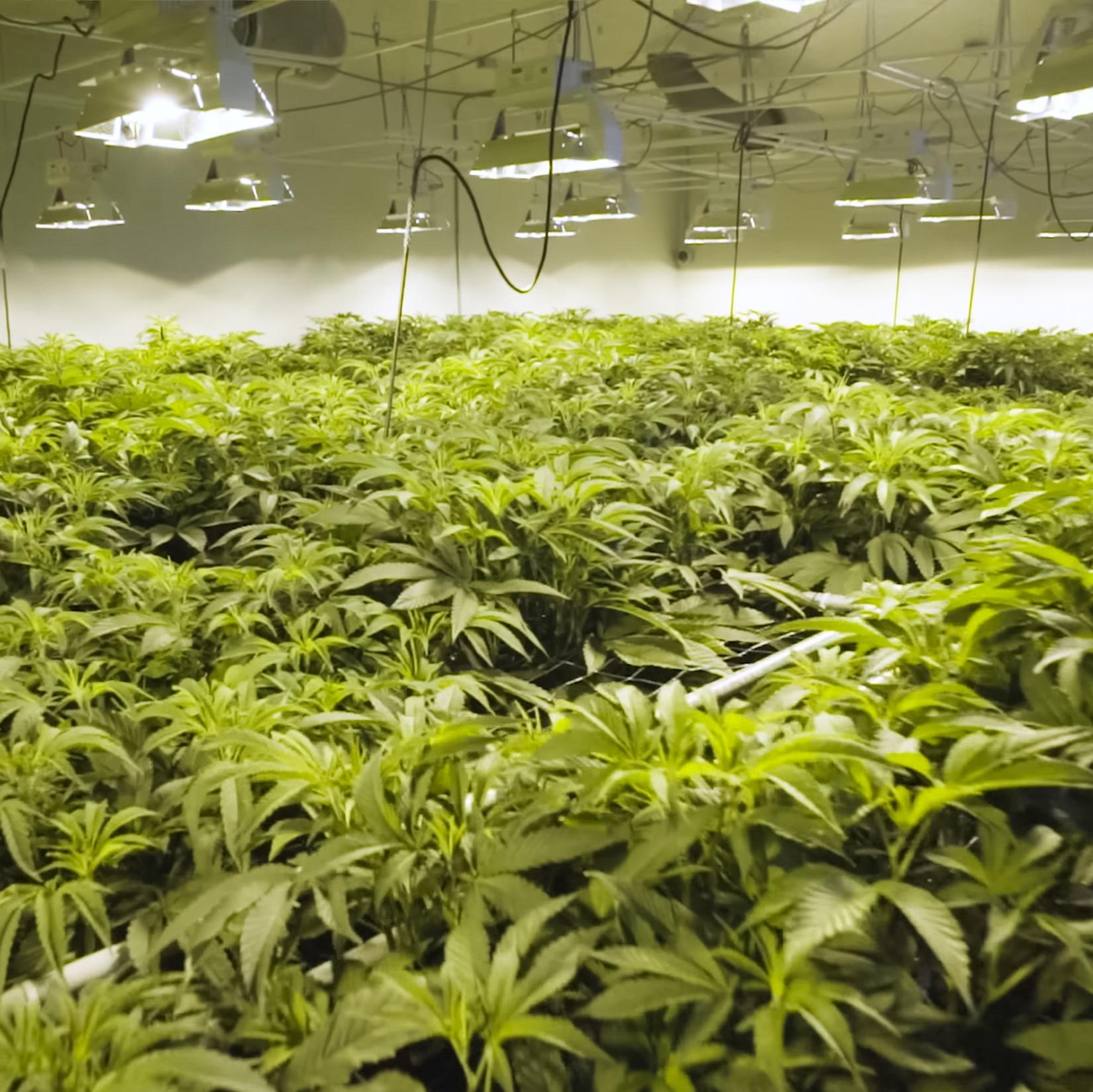 Cannabis Grow Room with PermaTherm Grow Room Wall Panels