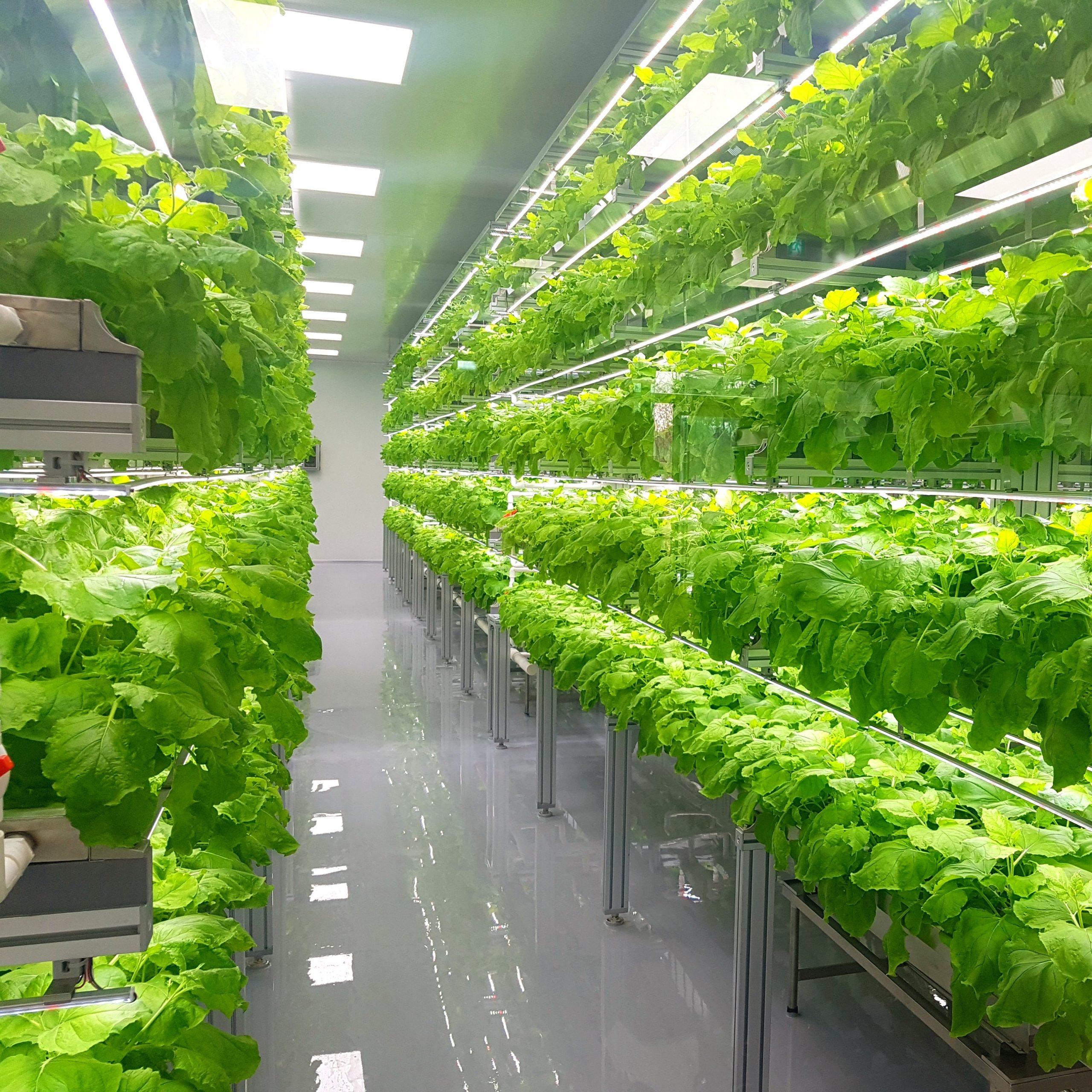 Vegetables Growing in Vertical Farm