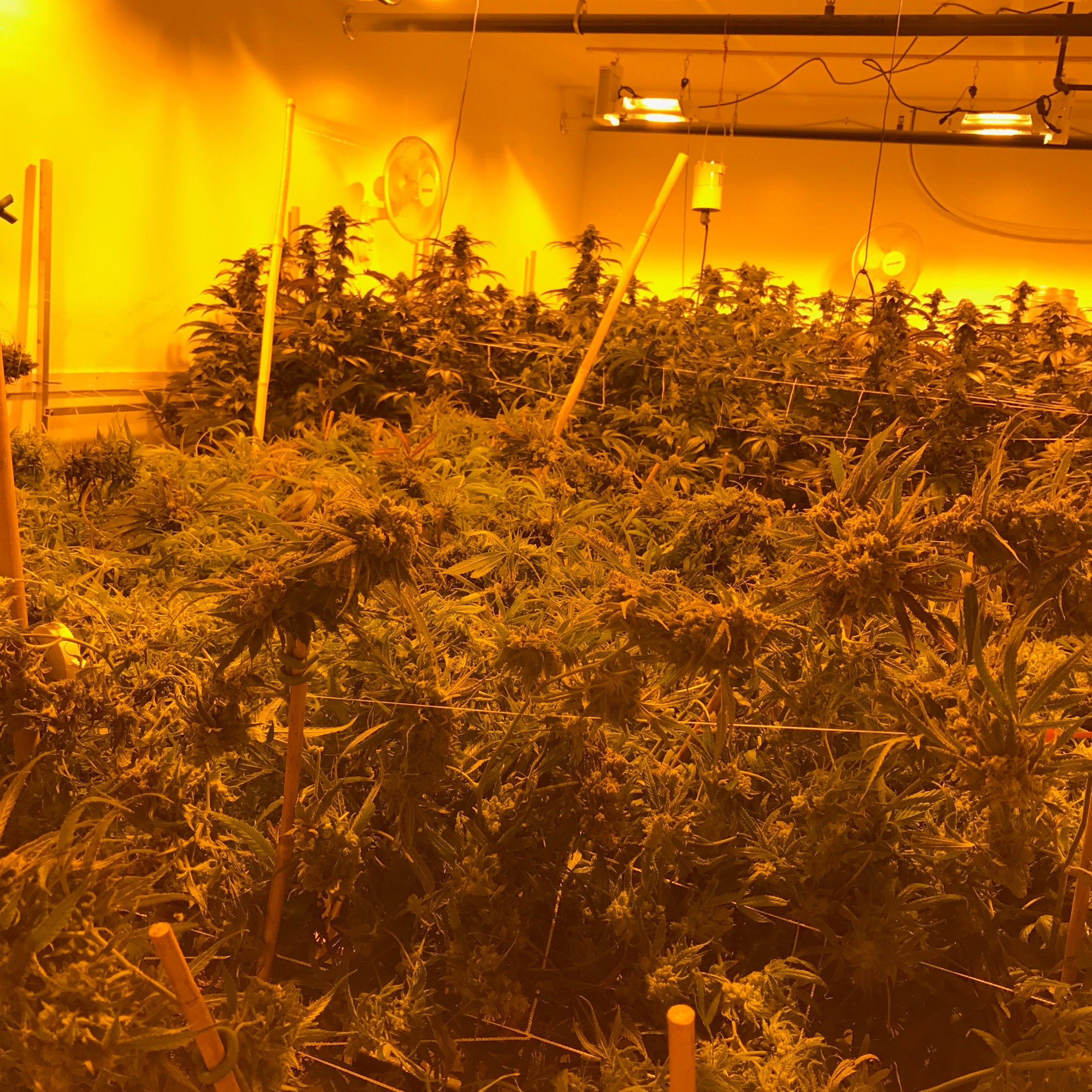 Lighting in a PermaTherm Cannabis Grow Room